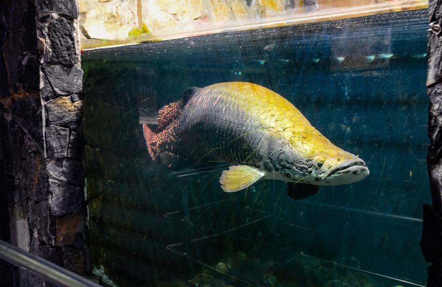 Dev Arapaima Balığı