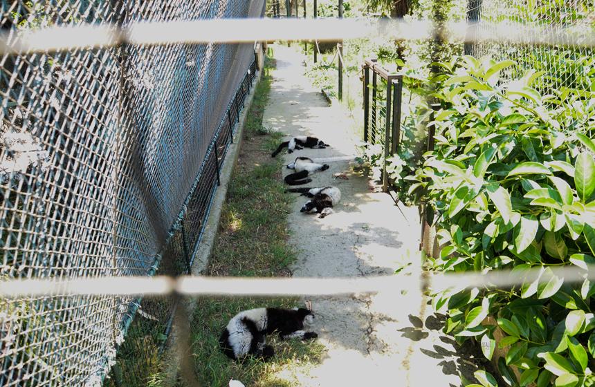 Halka Kuyruklu Lemurlar (Lemur Catta)