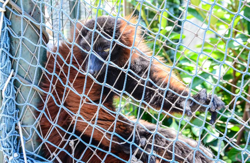 Kızıl Yakalı Lemurlar (Varecia Rubra)