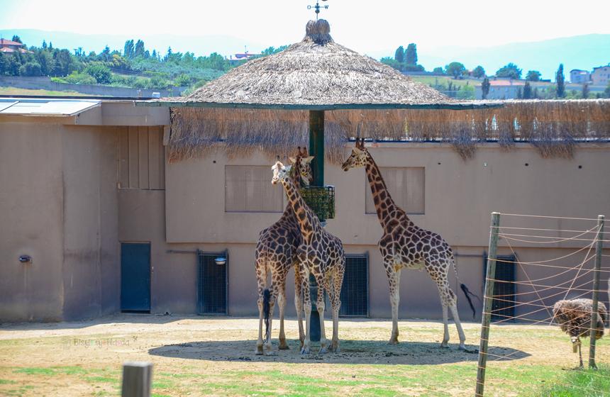 Faruk Yalçın Zoo - Zürafa