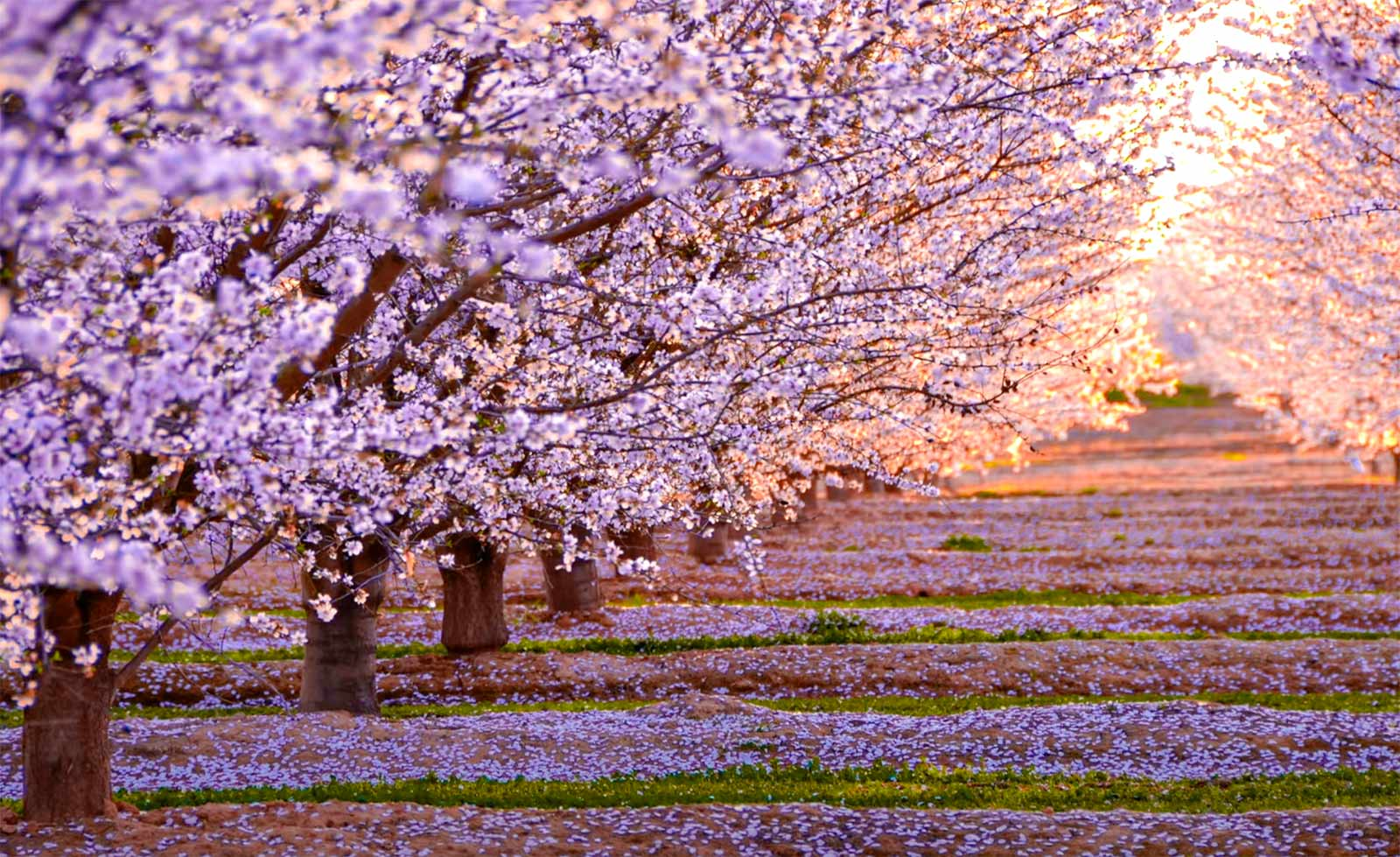 Sakura Bahçesi