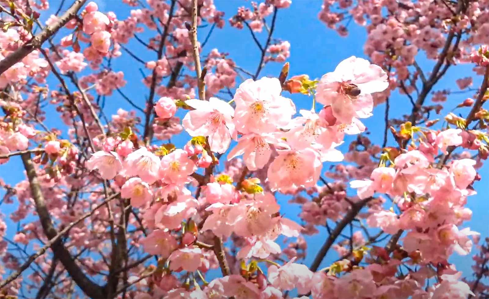 Sakura Çiçekleri
